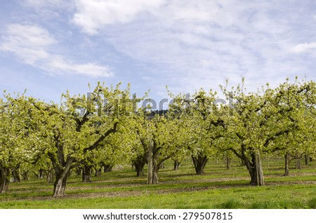Fruit orchards in Hood River Oregon during early spring - stock photo