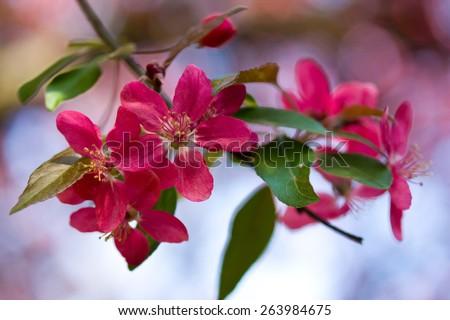 Fruit tree blooming - stock photo