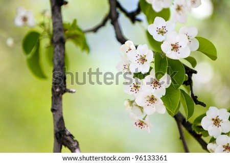 Fruit tree blossom close-up. Shallow depth of field - stock photo