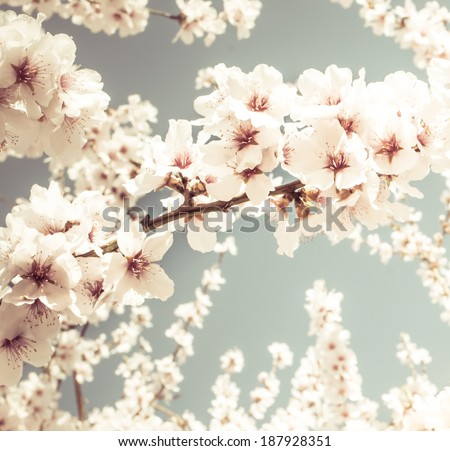 Fruit tree blossoms on a spring day. Pastel tones - stock photo