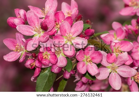 Fruit tree brunch in the pink blossom - stock photo
