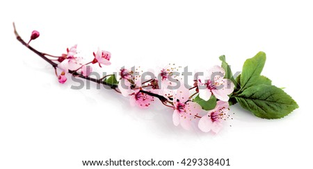 Fruit tree flowers in blossom isolated on white - stock photo