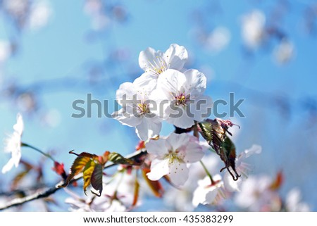 Fruit tree flowers in blossom on blue sky background - stock photo