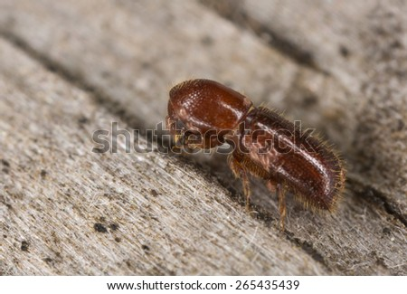 Fruit-tree pinehole borer, Xyleborinus saxesenii on wood - stock photo