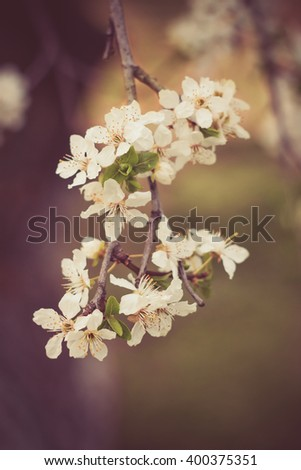 fruit tree twig with white flowers soft blurry background - stock photo