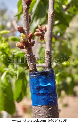 Graft stock images royalty free images vectors shutterstock - Graft plum tree tips ...