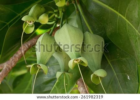 Fruits Barringtonia (L.Barringtonia asiatica) or Sea Poison Tree - stock photo