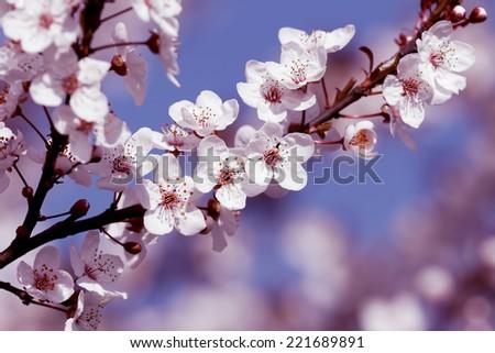 fruits blossom, spring - stock photo