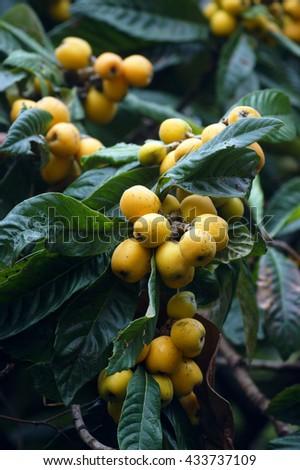 Fruits medlar Japanese on a tree - stock photo