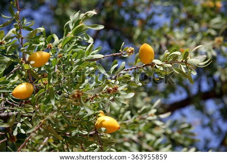 Fruits of Argan tree (Argania spinosa) on the branch  - stock photo