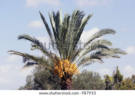 Fruits of date palm- MORE SIMILAR AVAILABLE, PLEASE LOOK IN MY PORTFOLIO