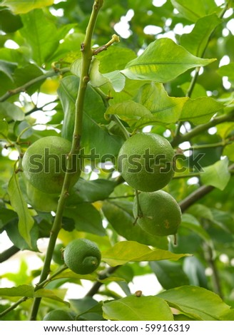 Fruits of lime on a tree branch - stock photo