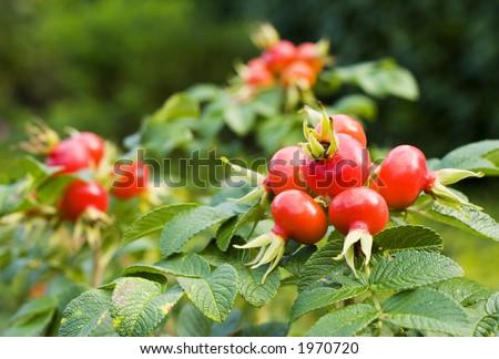 Fruits of rose hips (rosa canina) - stock photo