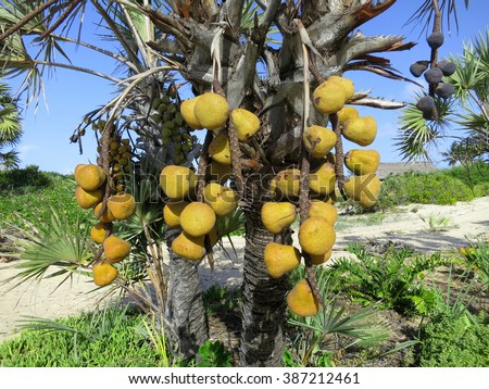 Fruits of the Lala palm. Vegetable ivory. Barra Beach, Inhambane Province, Mozambique, Southern Africa - stock photo