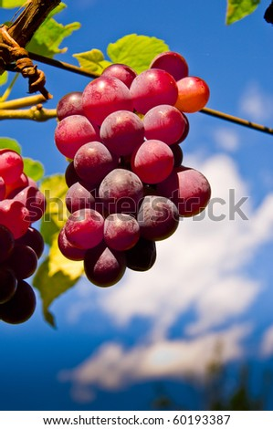Fruits. Red grape.