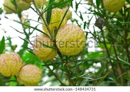 Fruits with thorns - stock photo