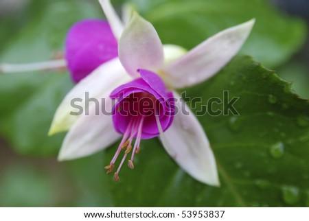 fuchsia closeup, center position - stock photo