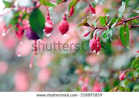 Fuchsia flowers in raining day  - stock photo