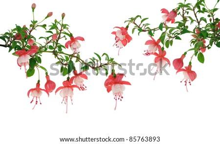 Fuchsia flowers over white background - stock photo