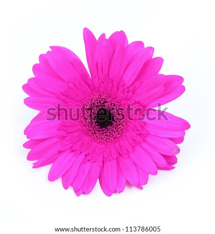 fuchsia gerbera flower isolated on white background