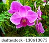 fuchsia iris at San Francisco Conservatory of Flowers in Golden Gate Park - stock photo