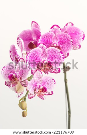 Fuchsia Moth Orchids and buds close up - stock photo