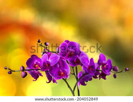 fuchsia orchid flower close up on blurred yellow and red garden background