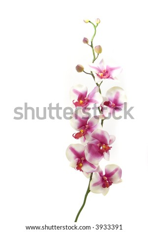 Fuchsia orchid on white background