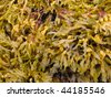 Fucus is a genus of brown alga in the Class Phaeophyceae - stock photo