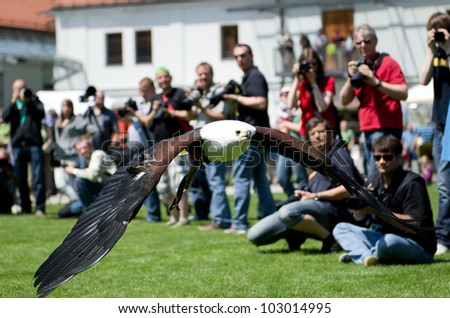 FUERSTENFELDBRUCK - MAY 19: Flying young bald eagle at the Nature Photo Days in Fuerstenfeldbruck, Germany on May 19, 2012.