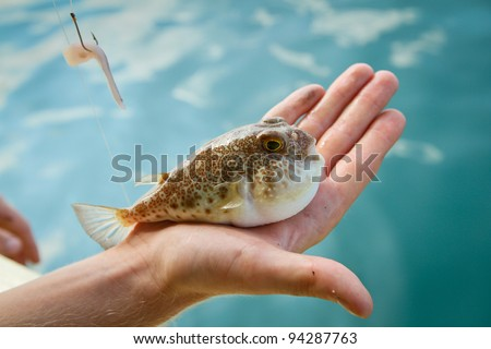 Fugu fish caught while fishing in Siam Bay - stock photo