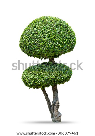 Fukien tea tree [Carmona retusa (Vahl) Masam.] isolated on white background