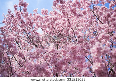 ful-bloomed cherry blossom over blue sky background