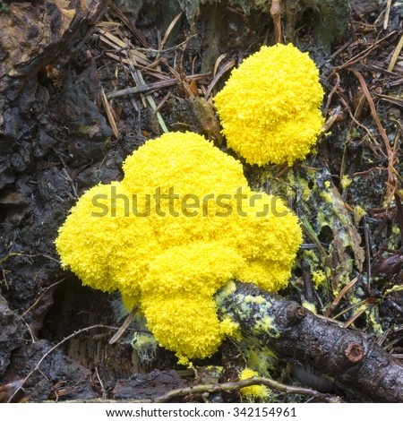 Fuligo septica is a species of plasmodial slime mold, and a member of the Myxomycetes class.