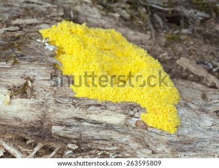 Fuligo slime mold on wood  - stock photo
