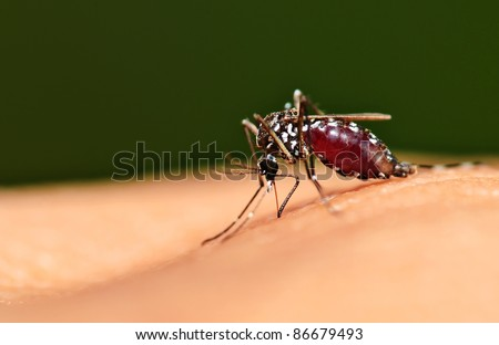 Full blood on mosquito body while bite human skin - stock photo