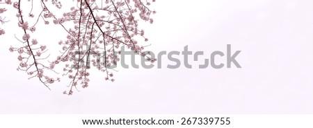 Full bloom cherry blossom branches isolated on white with slight pink gradation. Yoshino cherry (someiyoshino) - stock photo