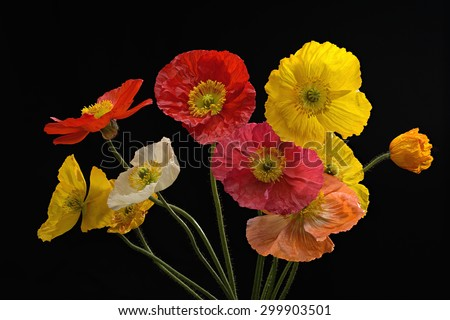 Full bloom Pink yellow white orange and Red Poppy Flowers Isolated on black background, studio shot large Depth of Field  - stock photo