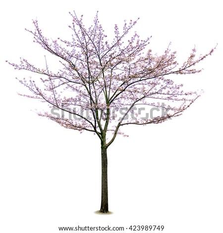 Full bloom sakura flower tree isolated (Cherry blossom) - stock photo