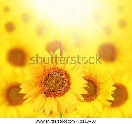 Full bloom sunflowers backlit by sunlight in a sunflower garden - stock photo