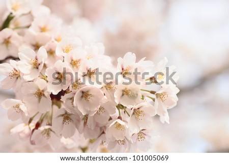 Full bloomed cherry blossoms   in  pond  Takamatu (Morioka ,Iwate,Japan) - stock photo