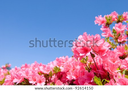 full blooming bright pink azalea flower and blue sky - stock photo