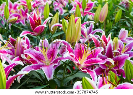 Full blooming of lily flower in garden. - stock photo