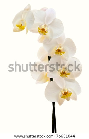 full blown white-yellow orchid separated on white background