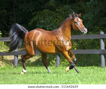 Full body Arabian horse trotting - stock photo