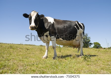 Full body image of a pregnant cow in green pasture and blue sky. - stock photo
