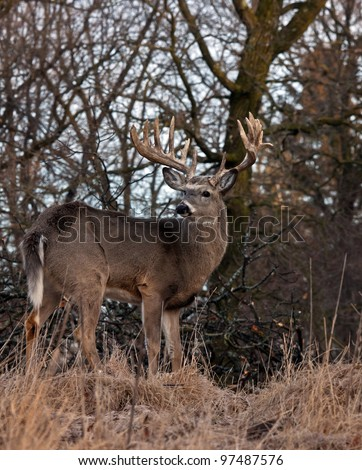 Full body image of a trophy whitetail buck deer, alert and standing on a hillside. - stock photo