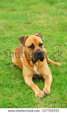 Full body of a purebred South African Boerboel dog with alert facial expression on guard laying on green grass (focus on dog's face). - stock photo