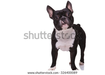 full body picture of a cute french bulldog puppy dog standing isolated on white background - stock photo