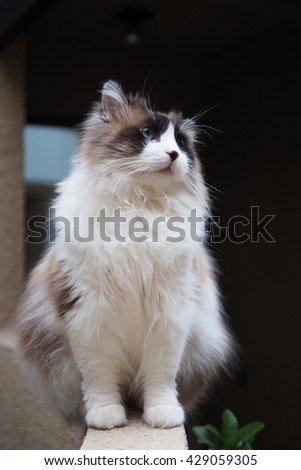 Full Body Portrait of Regal Long Hair Bi Color Brown White Ragdoll Cat with Blue Eyes and Black Button Nose and Long Whiskers Sitting on Ledge Looking to the Side - stock photo